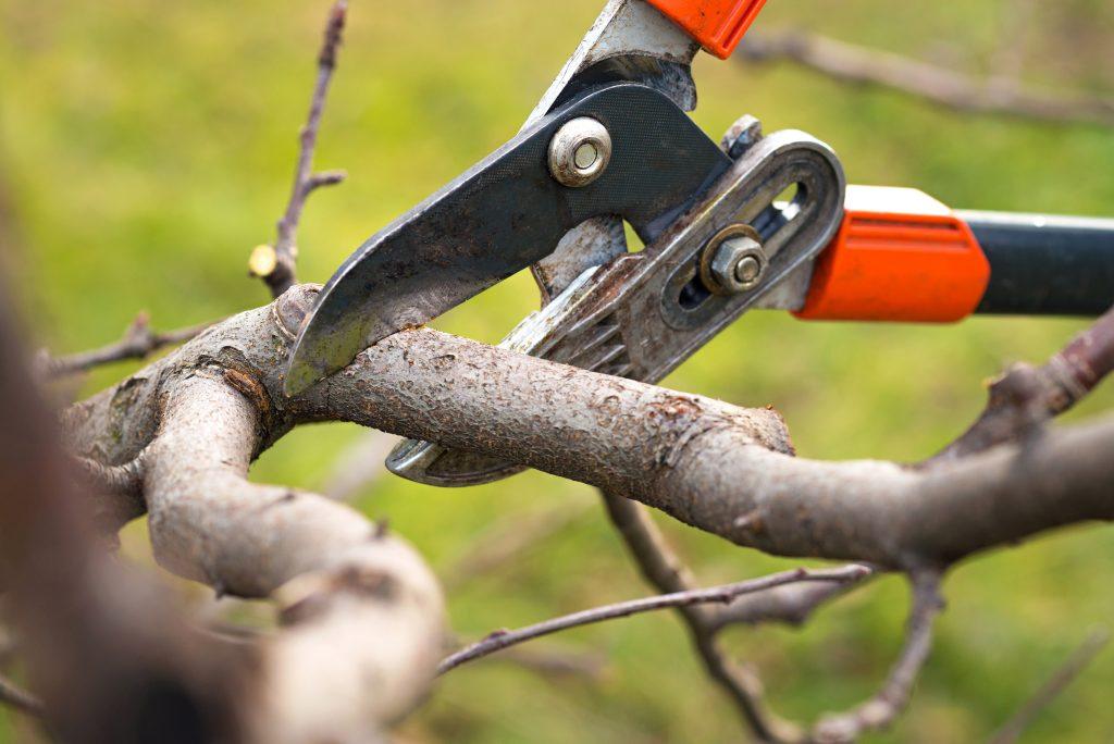Mistletoe Removal
